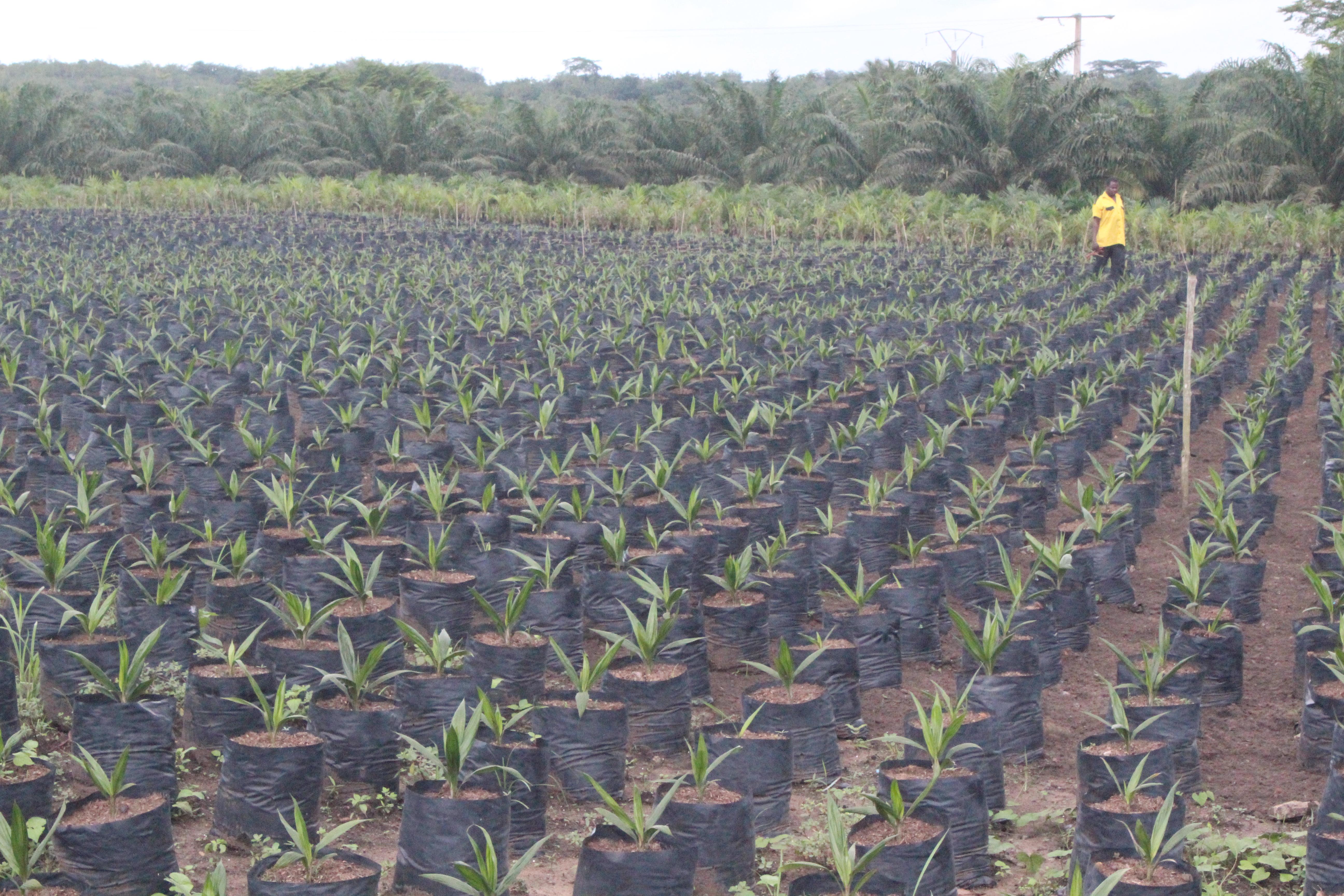 PALMAFRIQUE mise sur une sélection des meilleures graines germées et un entretien quotidien de ses pépinières.