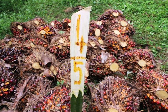 Récolte de régimes de palmier