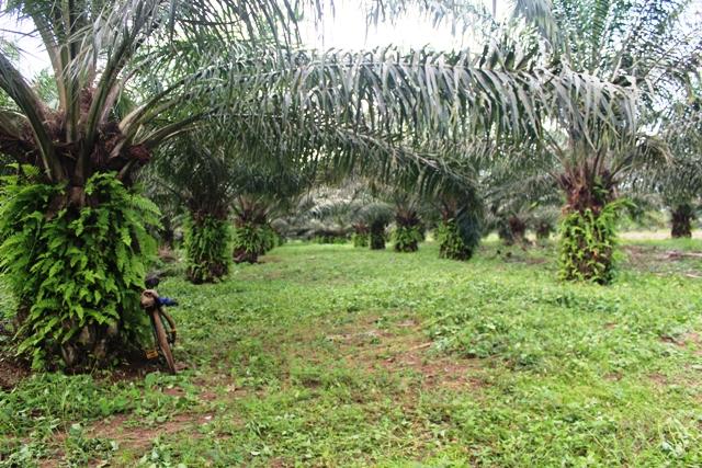 Plantation de palmiers