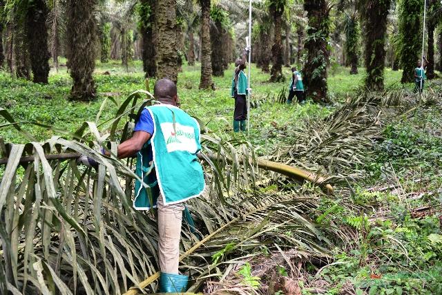PALMAFRIQUE en amont met un point d'honneur à l'entretien de ses plantations