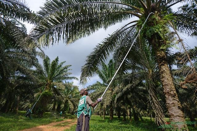 Opération d'élagage dans une plantation de Palmafrique à Eloka.