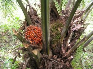 Le palmier à huile se porte bien.