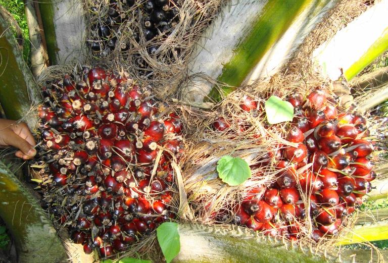 Graines de palme - Photo: wikipedia.org