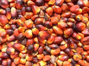 Graines de palme. Photo: wikicommons