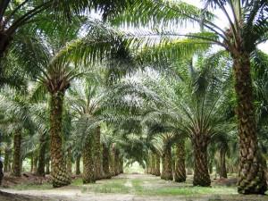 Oilpalm_malaysia