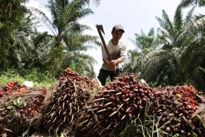 Planteur de palmier à juile