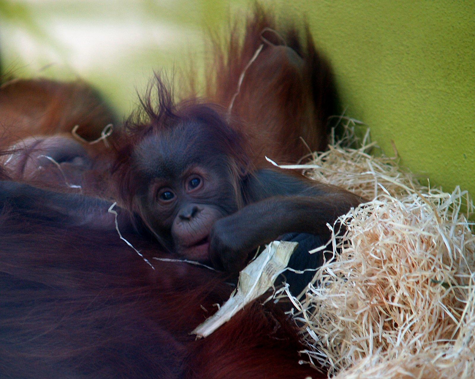 la disparition des orangs outans est elle vraiment li e aux plantations de palmiers huile. Black Bedroom Furniture Sets. Home Design Ideas