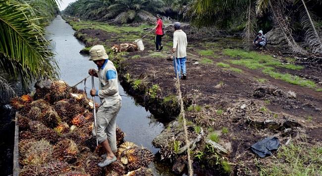 les rives bois es peuvent augmenter le rendement du palmier huile palmafrique. Black Bedroom Furniture Sets. Home Design Ideas