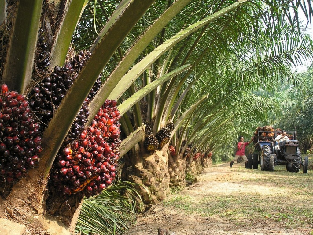 Oil_Palm_Plantation_Palmafrique