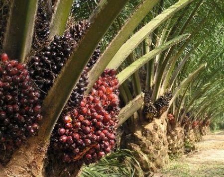 Palmiers_à_huile_Crise_Palmafrique
